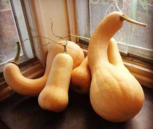Two different butternut pumpkin varieties. A large, crookneck, butternut type called Bungowannah Butternut, and a smaller, straighter variety, called Waltham Butternut. Both are known for their sweet, buttery flesh and relatively thin skin. Photo: Thea O'Loughlin