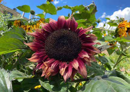 Sunflower in full bloom. Photo: Didi Sommer